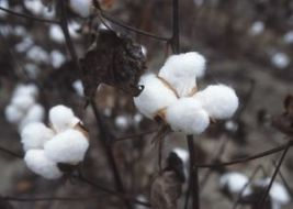 Cotton is infused with a potent poison called gossypol.