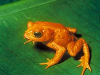 The golden toad was one of the first casualties in the great amphibian decline.