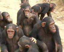 Chimps have more adaptive genetic changes than humans