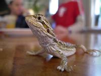 At higher temperatures, male bearded dragons turn into females.