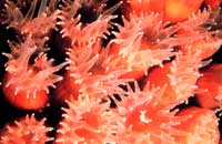 In acid water, corals lose their shells and live as soft-bodied polyps.