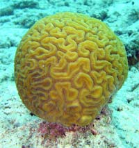 Corals, like this brain coral, find it harder to build their shells in acid water