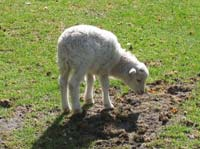 Lambs undernourished in the womb suffer health problems if they are well-fed after birth.