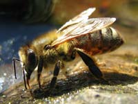 Bees release alarm pheromones that draw small hive beetles towards the hive.