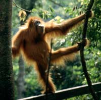 Orang-utans can go bipedal and our ancestors may well have done the same in the trees.