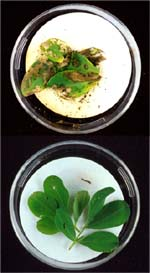 Some GM crops are resistant to specific insect pests.