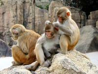 Rhesus macaques can compute statistics in a simple psychological task.