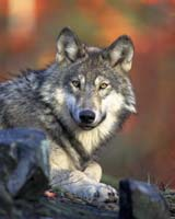The gray wolf - smaller than the Beringian variety, and with weaker jaws