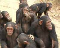Chimpanzee groups can learn new traditions from each other.