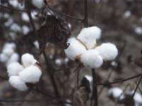 Bt cotton is better for non-targeted insects than non-resistant crops sprayed with insecticdes.