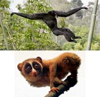 Primates have a wide range of movement styles from the fast siamang (top) to the slow loris (bottom).