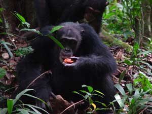 Different chimpanzee groups have distinct cultural traditions.