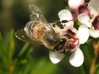 Honeybee colonies are more productive if they are more genetically diverse.