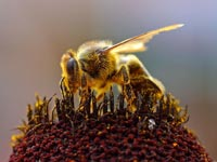 Worker bees from more genetically diverse hives are more capable of dealing with day-to-day tasks.