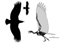 Argentavis's formidable skeleton, in comparison to a bald eagle.