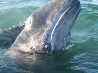 The gray whale hasn't fully recovered from a century or more of hunting