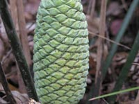 A male cycad cone