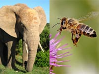 Elephants turn tail at the sound of bees