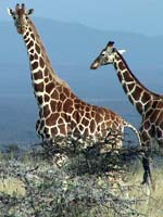 Giraffe next to whistling-thorn acacia